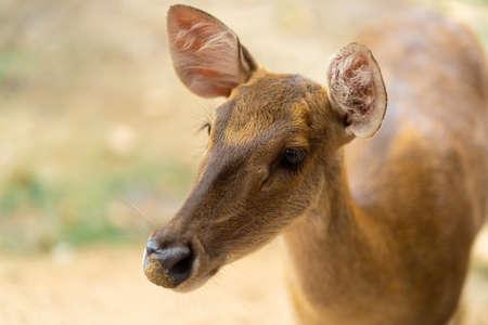 young hornless deer close-up, portrait close up. Banque d'images