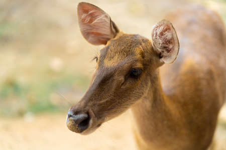 young hornless deer close-up, portrait close up.