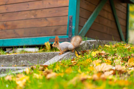 A fluffy beautiful squirrel is looking for food among fallen yellow leaves in the autumn in a city park.