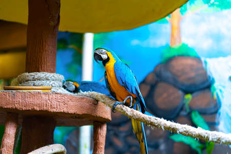 Blue yellow parrot macaw sitting on rope.