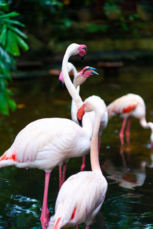 Flock of pink flamingos in the zoo pond. Reklamní fotografie