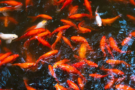 A flock of Japanese red carps in the pond. Fish for interior decoration.