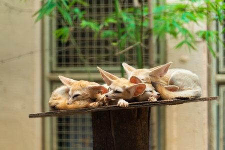 Cute sleeping fennecs on the shelf in the zoo. Reklamní fotografie