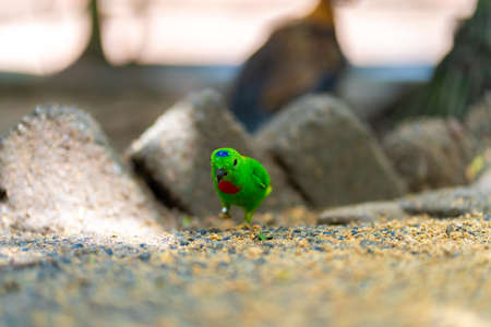 Very small and cute bright green parrot loriculus galgulus or blue crowned parrot, biting food.