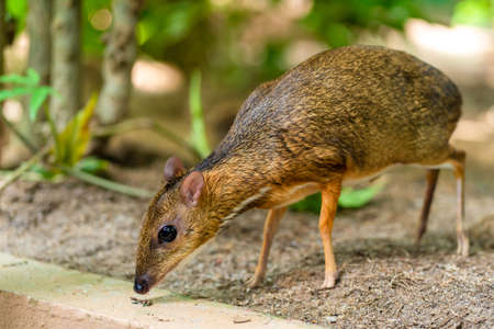 Kanchil is an amazing cute baby deer from the tropics. The mouse deer is one of the most unusual animals. Cloven-hoofed mouse.