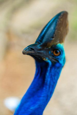 Cassowary close-up. Cassowary head. Big aggressive bird.