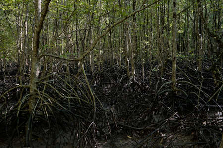 Wild mangrove forest. Mangrove trees close up.