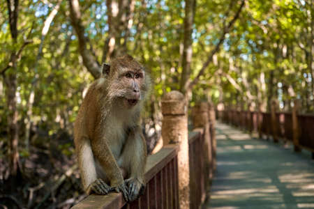 A wild monkey sits on a bridge in the mangrove forest.