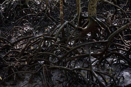 Wild mangrove forest. Mangrove trees. Foto de archivo