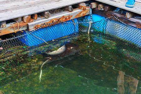 Fish farm excursion. Man feeding stingray close up. Foto de archivo