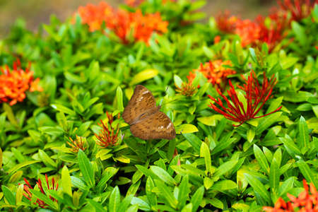 Bright juicy picture. A tropical butterfly collects nectar from flowers in the garden. Fascinatingly slow wing flap