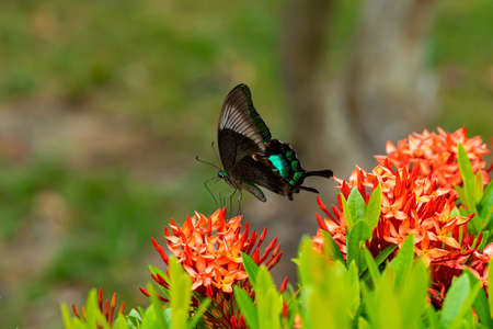 Incredibly beautiful day tropical butterfly Papilio maackii pollinates flowers. Black-green butterfly drinks nectar from flowers 写真素材
