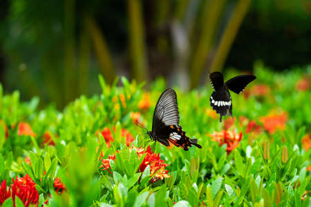 Tropical butterfly drinks flower nectar on a flower bed in the yard