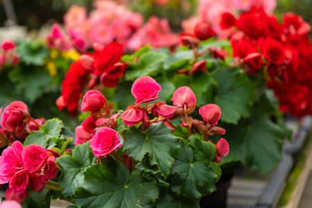 Blooming red rose bush flowers in plant store.