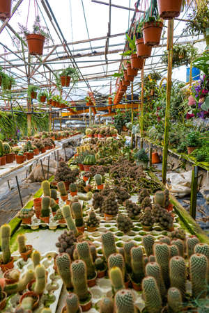 Cacti of different shapes and breeds on the cactus farm. Plants for home and yard decor.