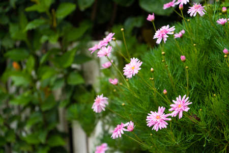 A green bush with delicate pink flowers. Decoration of the yard and home. 写真素材
