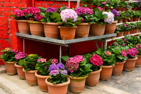 Blooming hydrangea flowers in a plant store in Asia.