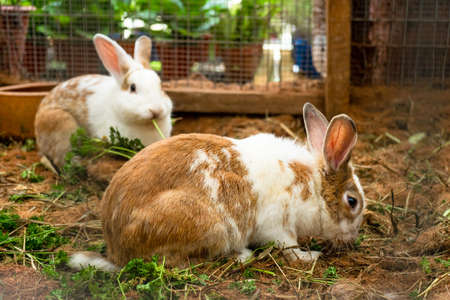 Cute spotted white-brown rabbits chewing grass on the farm. 写真素材