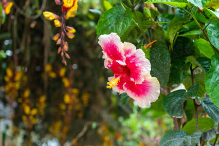A vibrant, color-rich hibiscus flower. 写真素材