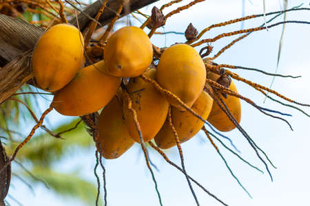 Yellow coconut nuts on a palm tree.