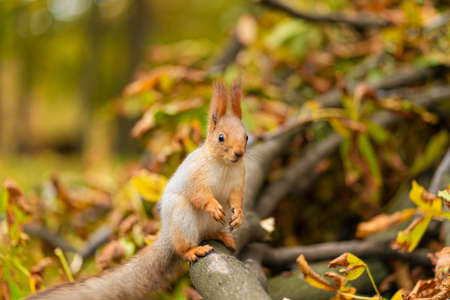 Close-up portrait of a fluffy beautiful squirrel on a branch of a sawn tree with yellow leaves in an autumn park.