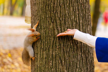 A squirrel sitting on a tree trunk takes nuts from a person's hand in an autumn park. Standard-Bild