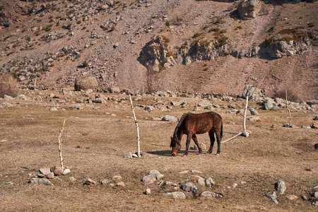 A horse without a team is walking in a meadow at the foot of the snow-capped mountains. Early spring the horse grazes in the mountains.