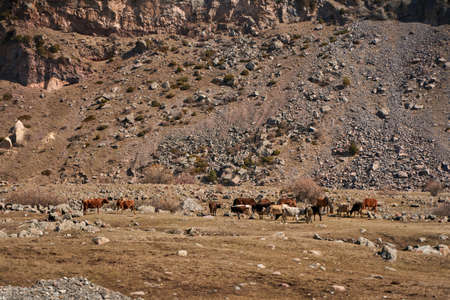 Cows in the mountains of Georgia. Animals graze along the road. Incredible mountain landscape in the background.