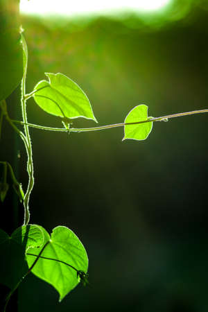bright green climbing plant in backlight with lens flare closeup.