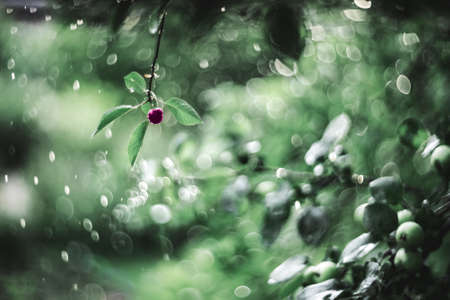 Abstract background of a summer garden during the rain. A lone cherry berry with leaves on a background of swirly bokeh. Artistic tinting, vintage manual focusing lens with soft focus.