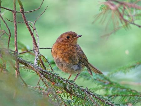 erithacus: The European Robin (Erithacus rubecula)