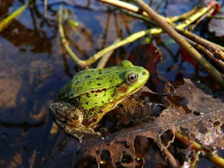 amphibia: Marsh frog (Rana ridibunda)