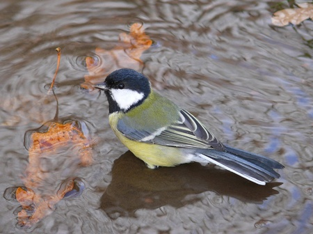 major: Great Tit (Parus major) Stock Photo