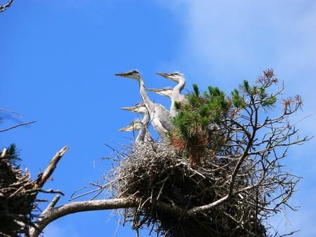 Nestlings of Grey Heron (Ardea cinerea)