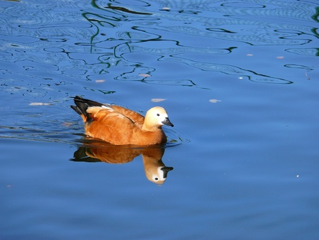 The Ruddy Shelduck (Tadorna ferruginea) photo