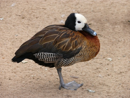 The White-faced whistling-duck (Dendrocygna viduata) photo