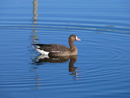 The  Greater White-fronted Goose (Anser albifrons) photo