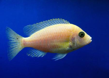 aquarian: Aquarian fish