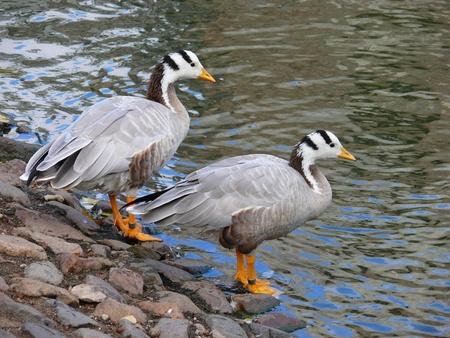 anser: The Bar-headed Goose (Anser indicus) Stock Photo