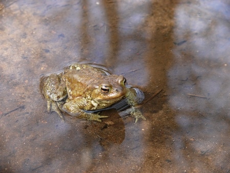 The Common Toad (Bufo bufo) Stock Photo - 11398607