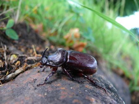 oryctes: The European rhinoceros beetle (Oryctes nasicornis) Stock Photo