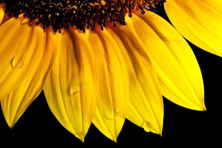 Beautiful sunflower isoleted on black with water drops photo