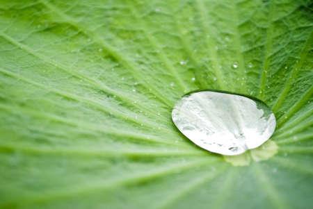 lotus leaf: Drop on lotus leaf