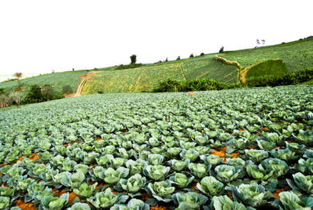 tortuous: Big Cabbage farm on the mountain