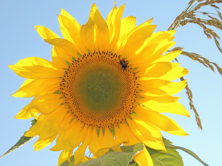 sunflower with bumblebee in the field at sunset photo
