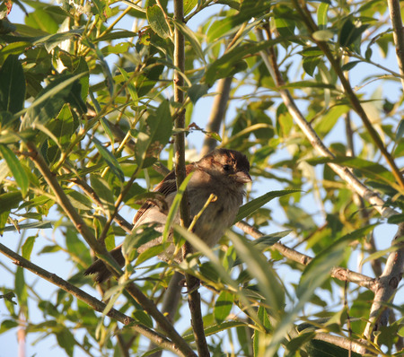 crack willow: House sparrow (Passer domesticus) on a branch of a Salix fragilis (crack willow or brittle willow), male