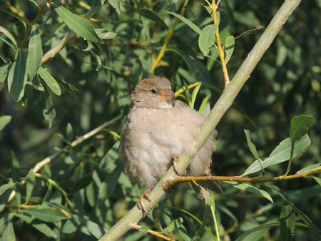 salix fragilis: House sparrow (Passer domesticus) on a branch of a Salix fragilis (crack willow or brittle willow), female Stock Photo