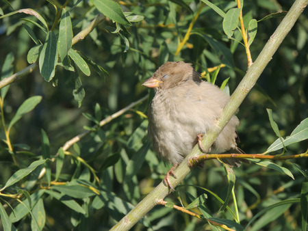 salix fragilis: House sparrow (Passer domesticus) with the closed eye on a branch of a Salix fragilis (crack willow or brittle willow), female