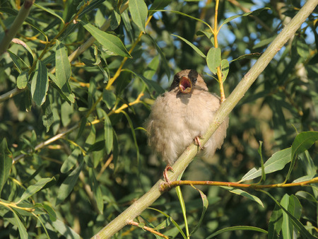 crack willow: House sparrow (Passer domesticus) with open beak on a branch of a Salix fragilis (crack willow or brittle willow), female
