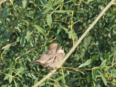 crack willow: preen House sparrow (Passer domesticus) on a branch of a Salix fragilis (crack willow or brittle willow), female
